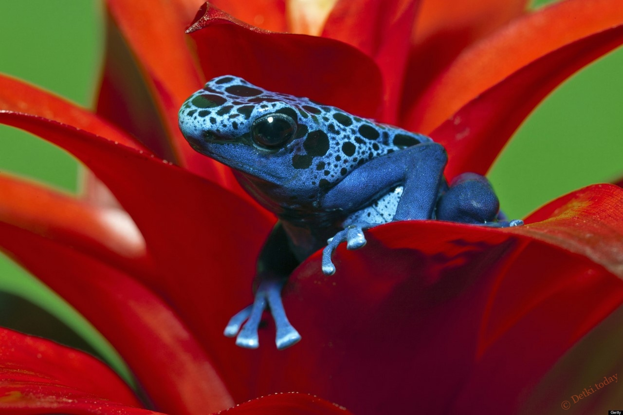Poison dart frog photo Buy Tree Frogs! Jumping Your Way From m!